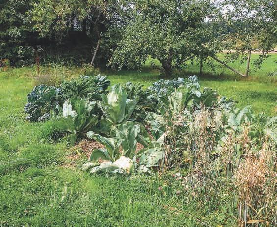 Prächtiges EM-Obst und -Gemüse im naturnahen Garten (siehe auch den Blumenkohl auf dem Titel)