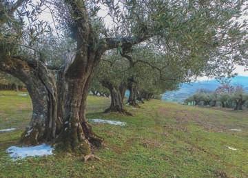 Zu den Ländereien gehört auch ein alter Olivenhain, der mit EM versorgt wird.