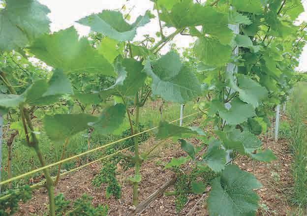 Bei der Pflege der Weinstöcke geht es nicht um Masse, sondern um beste Qualität; deshalb wachsen die Trauben so frei heran.