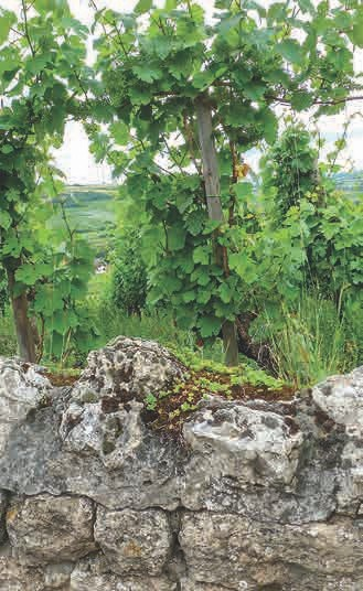 Die Rebstöcke des Weingut nutzen die Mineralien des Kalkgesteins zur Ausbildung interessanter Geschmacksrichtungen.