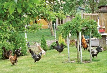 Viel Platz für die Hühner und Laufenten auf dem Gelände