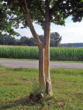 Der nackte Baum