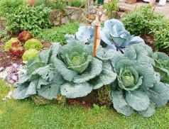 Bokashi-versorgter Gemüsegarten