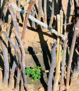 Moringa-Pflänzchen