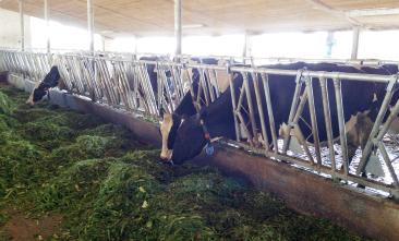 Silofreie Milch durch EM-Gras im Sommer, Heu im Winter