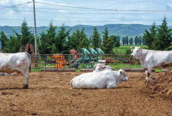 Chianina Rinder auf dem Hof Due Torri in der ital. Provinz Umbrien