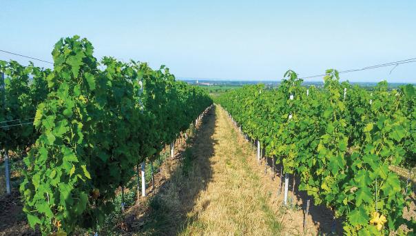 Rebzeile des Weinguts. Links höhere Weinreben dank Zugabe von Ziegenmistbokashi