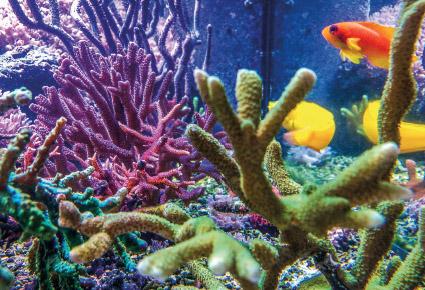 Gesunde, leuchtende Korallen im Aquarium mit Hilfe von EM